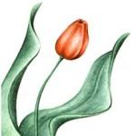 Ovi tulipán